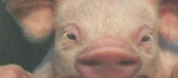 Dans le cochon tout est bon