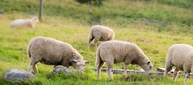 Wypasanie owiec na pastwiskach.