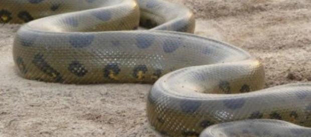 Anaconda amazonian, cel mai mare șarpe din lume