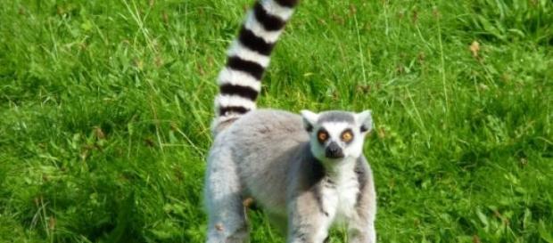 Lemurienii, mascota Madagascarului