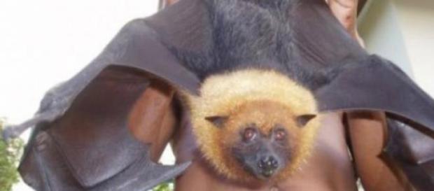 Un esemplare di pipistrello della frutta