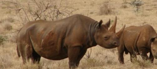 Caça ao rinoceronte tem aumentado nos últimos anos