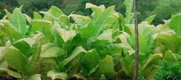 Planta de tabaco del género nicotiana