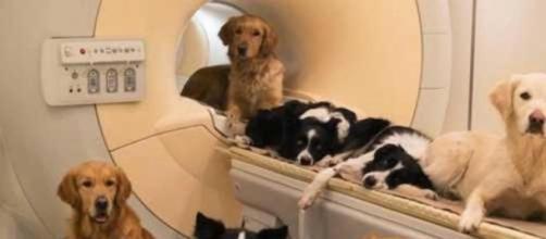 Perros en aparato de resonancia magnética