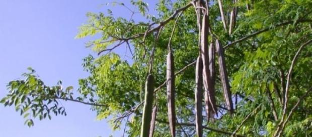 Moringa cuja semente é solução para águas