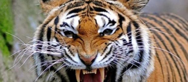 Tigrii pe cale de disparitie , simbolul puterii