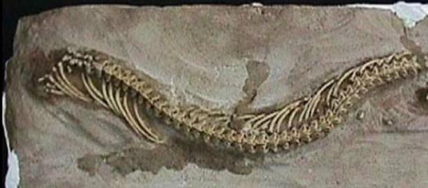 Ofidios habrían evolucionado de lagartos sin patas
