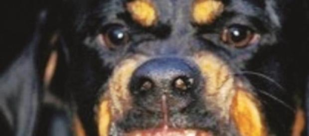 Cane  di razza Rottweiler