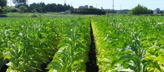 Plantación de tabaco en Japón