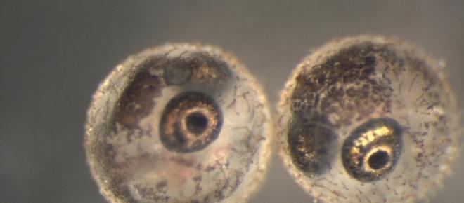 Ovos embrionados de Killifishes Anuais