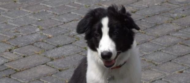 O cão é da raça border collie