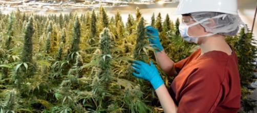 La coltivazione della marijuana