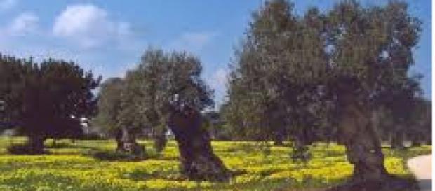 Gli ulivi del Salento continuano a produrre olio.
