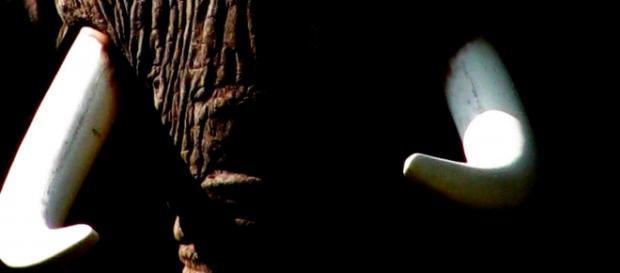 Image courtesy of Frank Flowers. African elephant