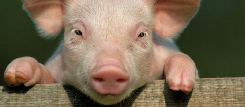 we will be able to transplant pig organs to humans