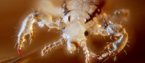 Estes parasitas alimentam-se de sangue humano.