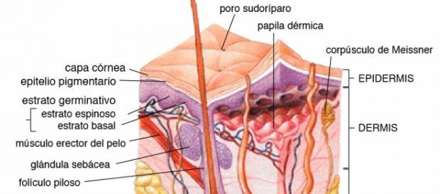Las distintas capas de la piel