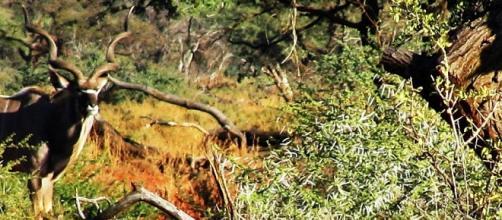 J.Flowers. Kudu antelope in Acacia Woodland
