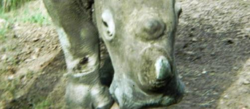 Image by Frank Flowers. Black Rhino