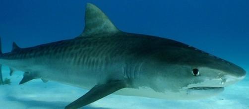 Imagen. Ejemplar de Tiburón Tigre