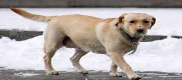 La pseudogestación afecta a una de cada dos perras