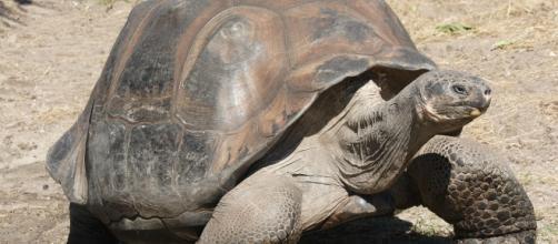 Tartaruga gigante em Galápagos