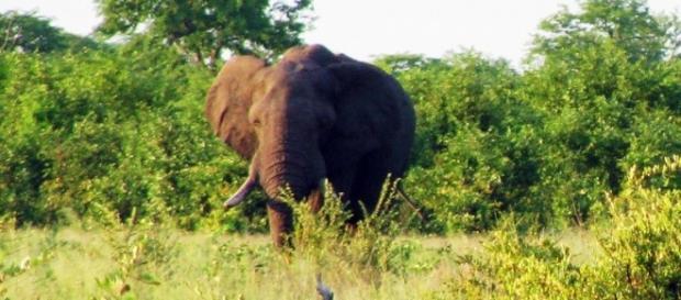 Image Frank Flowers. Elephant in Zimbabwe