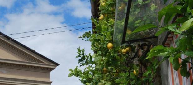 Cytryna - owoc, który warto poznać bliżej