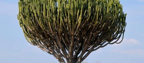 Euphorbia ingens by © Hans Hillewaert /. wikke