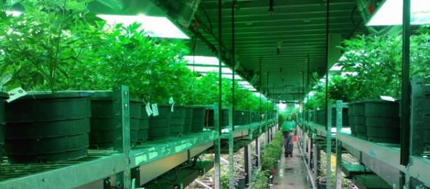 Cannabis. Pixabay commons. No attrition