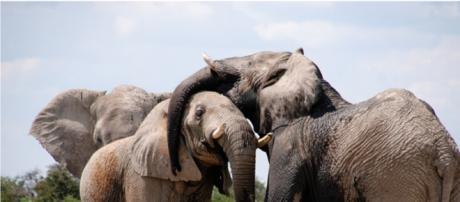 Gli elefanti dello Stato dell'Africa