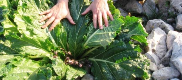 Una folta pianta di mandragora
