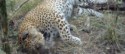 Dead leopard. Wildlife poisoning prevention.