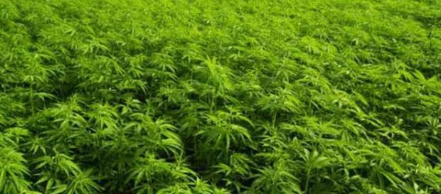 Proponen uso medicinal de cannabis