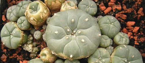 Planta de peyote originaria del norte de México
