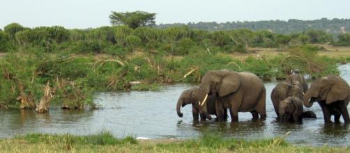 Ugandan elephants. Pixabay commons
