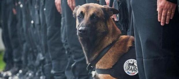 Diesel, il cane eroe ucciso durante il blitz