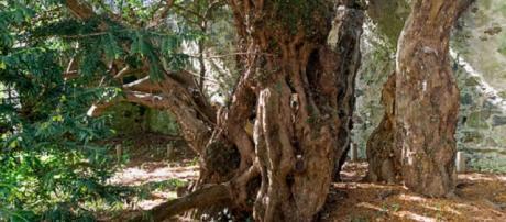 """O """"Teixo de Fortingall"""" tem cerca de 5 mil anos."""