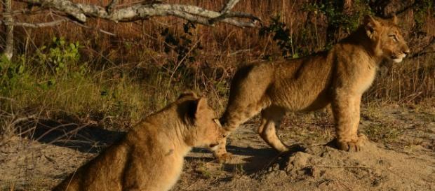 Futuro incierto para los leones