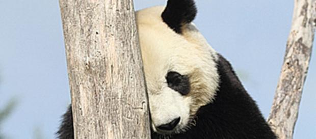 Un des deux pandas géants du Zoo-Parc