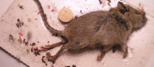 restos de roedor en hamburguesa de McDonald´s