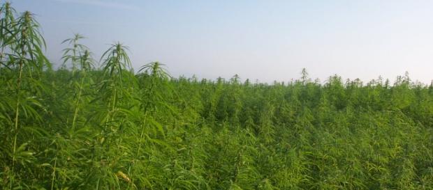 Enorme extensión de plantación de marihuana