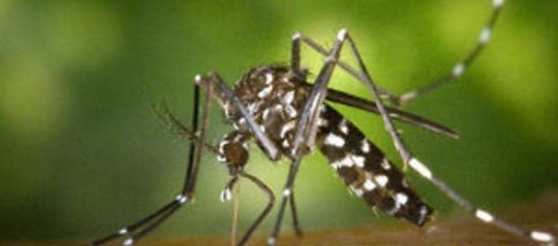 El mosquito Aedes aegypti causa el virus Zika