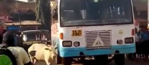 Vaca persegue o ônibus que atropelou seu filhote
