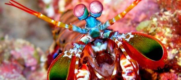 Camarão mantis, um predador lindo e mortal