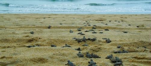 Tartaruguinhas seguem para o mar. Foto: H Santos