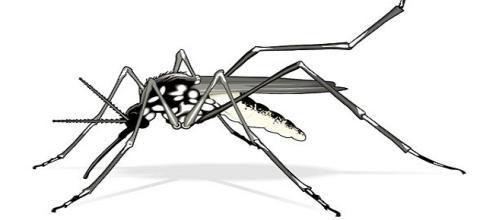 Mosquito da dengue, com apenas 0,5cm