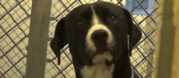 """Benny, o pit bull, """"enlouqueceu"""" ao ser adotado"""