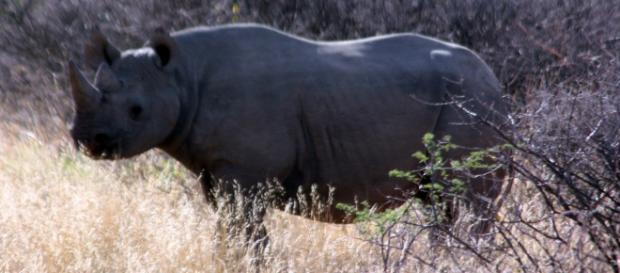 Black rhino in Africa (Wikimedia)