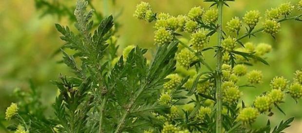 Planta de Artemisa Annua contra la Hepatitis C